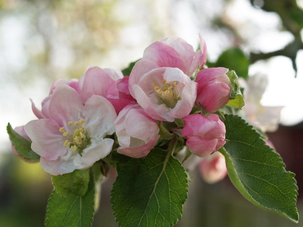 Close up of pink apple blossom in Spring