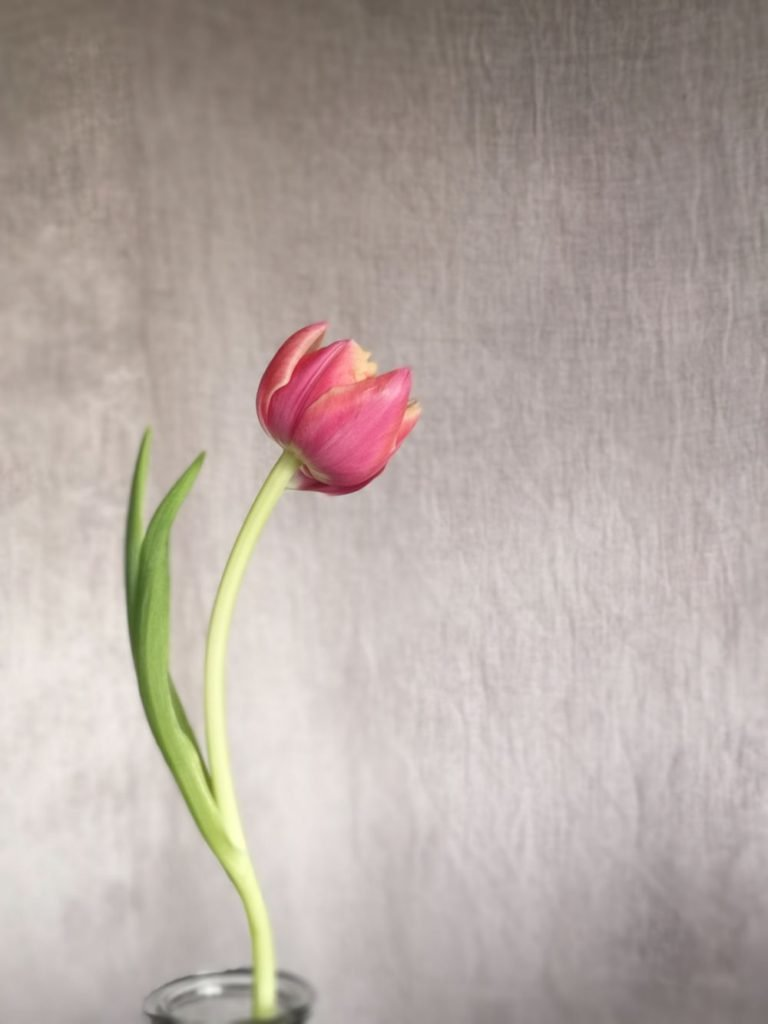 Single pink and yellow tulip in a vase